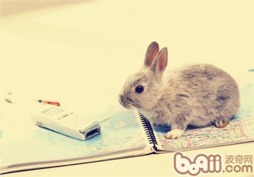 宠物兔乱吃东西怎么办|兔子训练