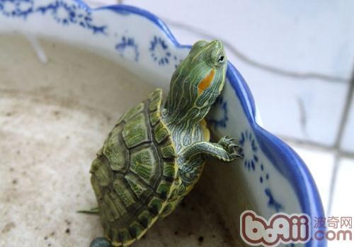 巴西龟为什么不冬眠