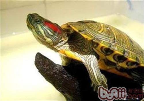 巴西龟真的有毒吗?