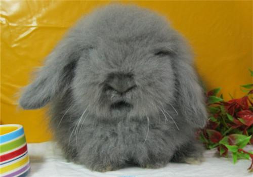 垂耳兔到底臭不臭