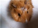 荷兰猪厌食症的原因分析