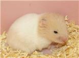 黄金鼠的品种介绍