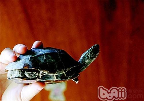 家养乌龟冬眠小贴士