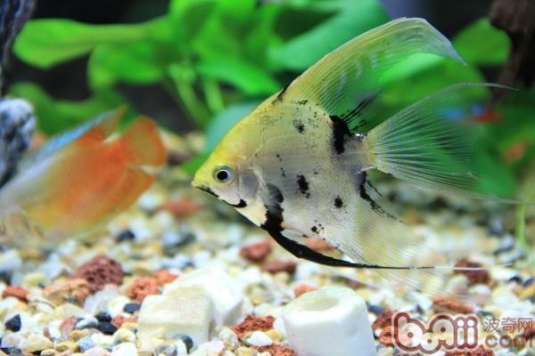 热带鱼鳍的作用解析
