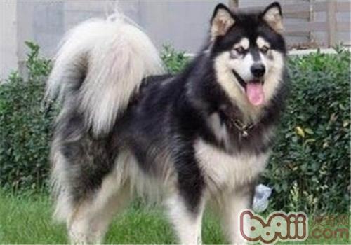 阿拉斯加雪撬犬造型修剪方法