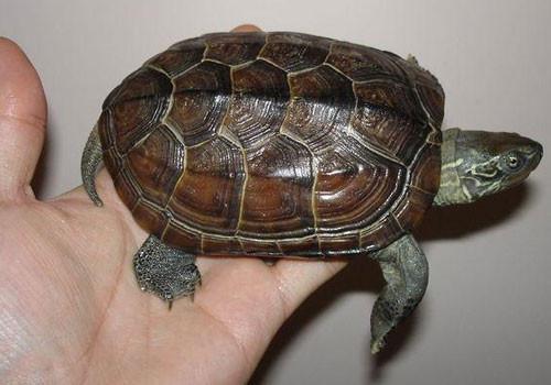 教你如何挑选宜于饲养的入门水龟