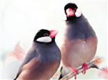 灰文鸟的繁殖过程