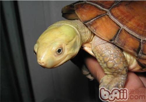 让水龟顺利冬眠的实用技巧