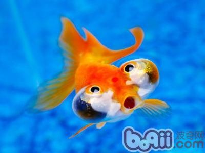 金鱼在水面吐泡泡的原因分析|水族常见病症-波