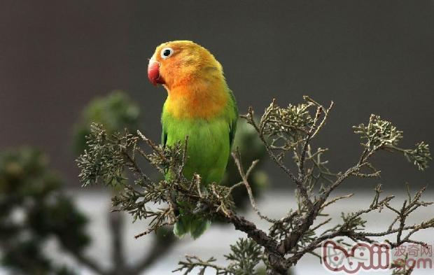 牡丹鹦鹉较易饲养,因其嘴坚硬有力、喜欢啃咬,故不宜饲养于木制或竹制的笼内,而要用金属笼。在笼内放置一些树枝、木条供其啃咬,一则可满足其生理需要,二则可保护鸟笼和笼内设施。特别要注意笼内饲养密度,一般中型鹦鹉笼可放养成鸟两对,如是繁殖最好一笼一对。   幼鸟的饲养密度亦不宜过大,以防突然爆发传染病。牡丹鹦鹉以谷子、小米、玉米碴、小麻籽、大米、菜籽、白苏等为主食,以青菜、苹果等为副食。脂肪类饲料不宜饲喂过多。 牡丹鹦鹉喜干燥、清洁,对水浴要求不高,按一般管理方法管理即可,无特殊苛求。