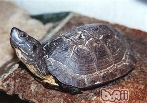 黑颈乌龟的养护