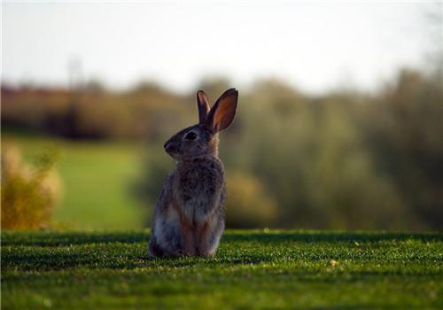 饲养野兔的方法和注意事项
