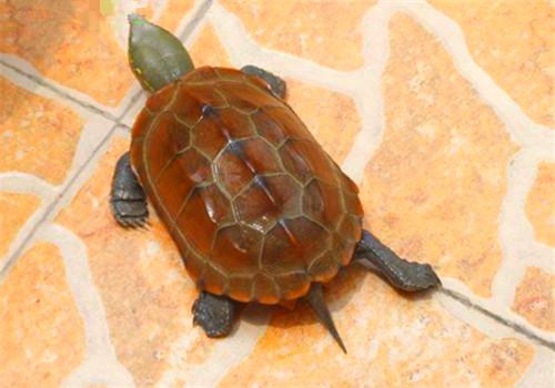 草龟的寿命有多长