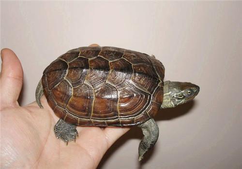 草龟独特的生活习性详解