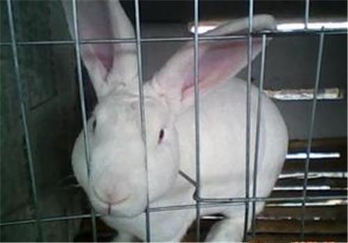 家兔病毒性出血症与李氏杆菌混合感染的诊治