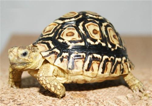 龟类的营养需要
