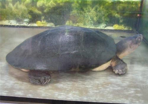观赏龟养护之泥龟
