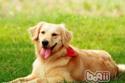 狗狗乳腺炎症状_狗狗乳腺炎简介 狗狗常见病-波奇网百科大全