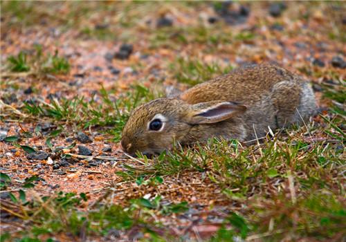 绝育宠物兔术前、术后的照顾要点