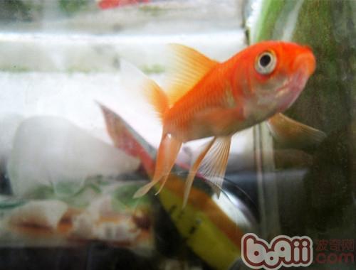 常见的金鱼种类简介