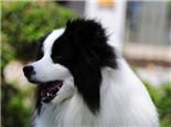 春季谨防狗狗传染性疾病
