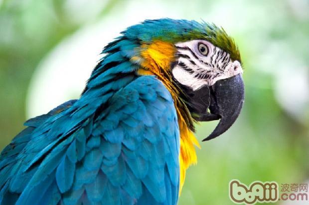 金刚鹦鹉的外形特征