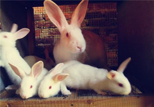 秋季种母兔饲养管理的注意事项