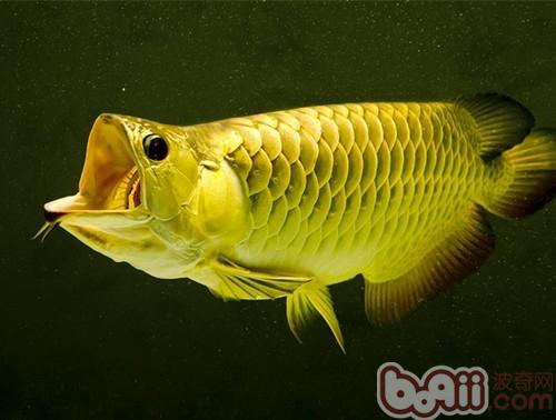 观赏鱼药浴的注意事项