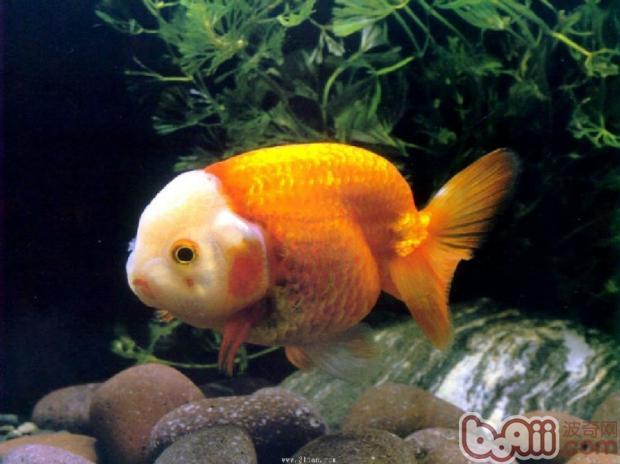 观赏鱼肠炎的分类介绍