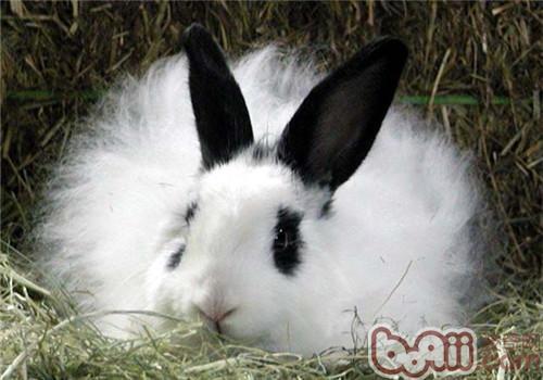 影响兔毛生长的因素及增毛方法