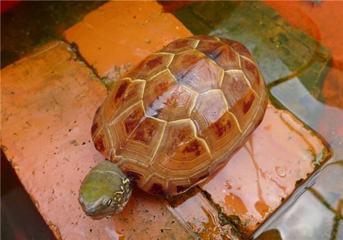 如何区分温室草龟、外塘草龟和野生草龟