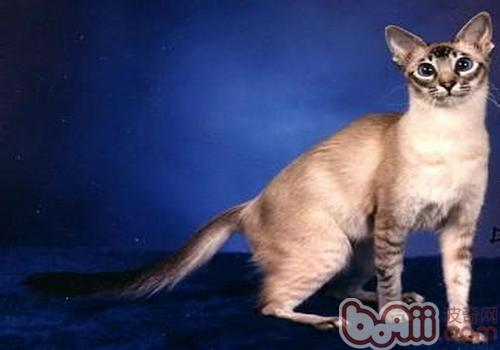 爪哇猫幼猫的养护