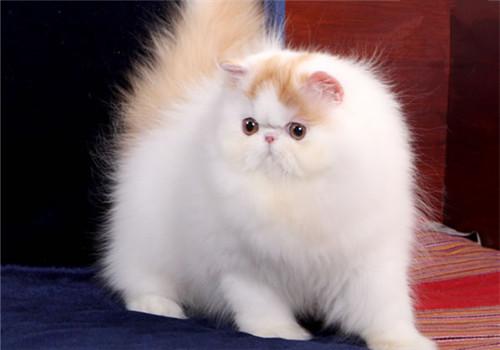 波斯猫毛发的护理方法