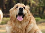 导盲犬通常是什么品种的狗狗