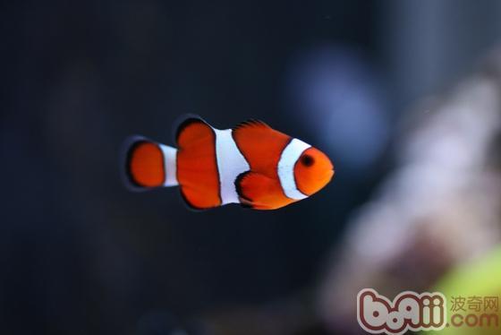 公子小丑鱼的品种介绍