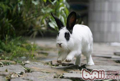 熊猫兔即荷兰兔,这是一种在欧,美,澳洲,非常流行的,那么如果要