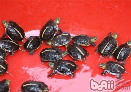 怎样 龟苗/黄缘盒龟