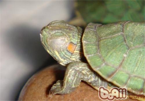 宠物龟白眼病怎么治?