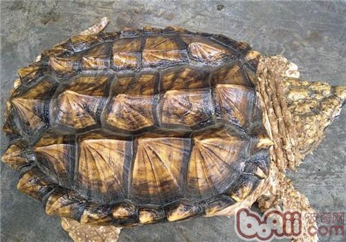 世界上最凶猛的龟是什么?