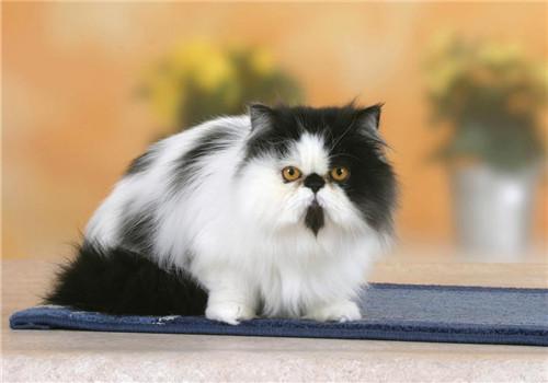 给波斯猫洗澡的正确方法