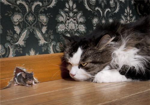 猫为什么会把猎物带回家