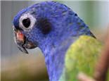 蓝头鹦鹉的品种介绍
