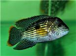 中药在观赏鱼疾病中的应用