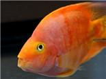 鹦鹉鱼水霉病的症状及治疗