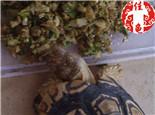 宠物龟肠胃调理的土偏方