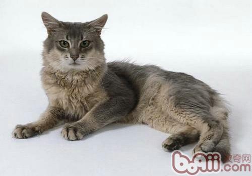 关于猫咪肺毛细线虫病的防治