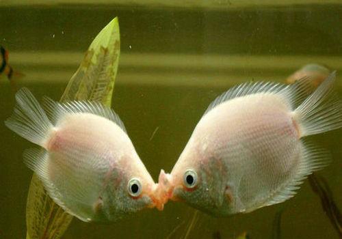 北京有几个水族市场求助是不是绿毛藻? 北京观赏鱼 北京龙鱼第3张