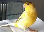 如何让金丝雀更好的繁殖