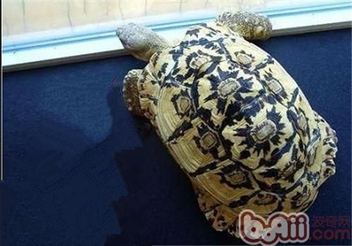 陆龟为什么会产生结石?