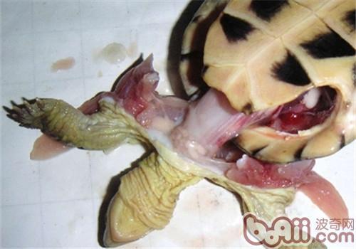 了解龟的内部结构